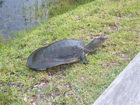 softshell turtle florida softshell turtle facts habitat diet life cycle baby pictures