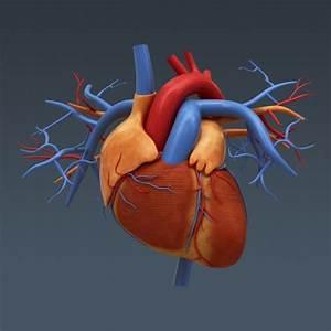 Human Body Internal Organs