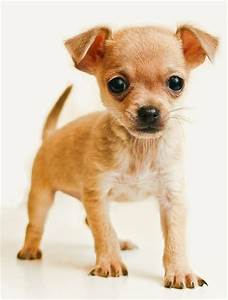 Chihuahua small dog breed ~ Breeds of small dogs : best ...