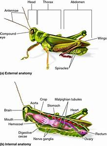 Template Grasshopper Dissection Diagram Labeled