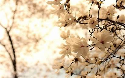 Magnolia Wallpapers Desktop Pixelstalk Backgrounds Px Wallpaperplay