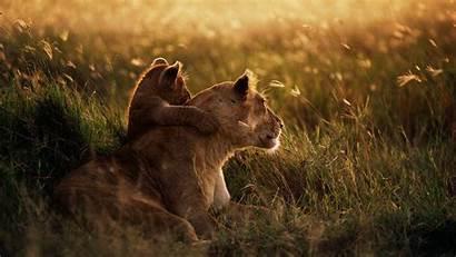 Lion African Wallpapers Wallpapersafari