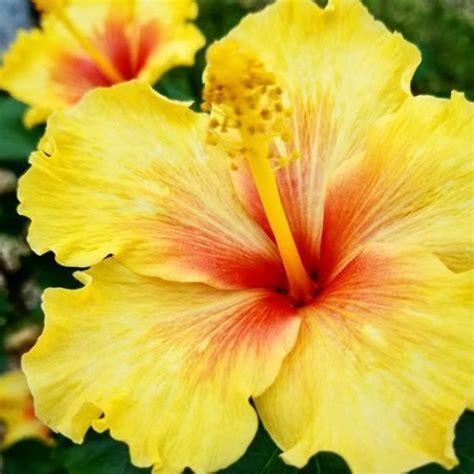 hibiscus entretien hibiscus alth 233 a hibiscus syriacus nos conseils d