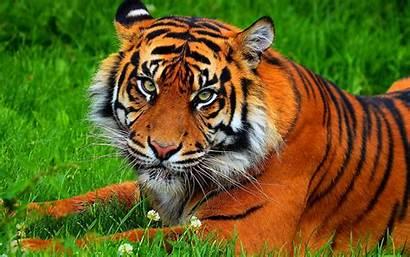 Tiger Cat Cats Fantasy Nature Jungle Asian