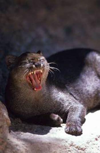 jaguarundi lamar university