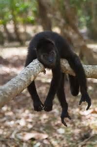 Howler Monkey Sanctuary Belize