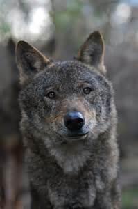 Beautiful Wolves Animals