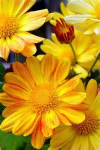 Yellow Daisies Flowers