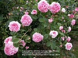 Photo of the bloom of Rose (Rosa 'Queen of Denmark ...