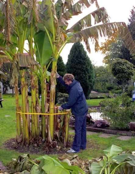 Im Garten Winterfest Machen by Winterschutz F 252 R Bananenstauden Mein Sch 246 Ner Garten
