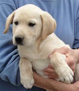 chocolate lab puppy rescue - DriverLayer Search Engine