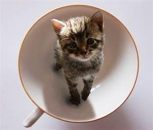 Teacup Kittens (36 Photos) : evercats
