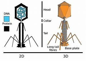 Diagram Of T4 Bacteriophage