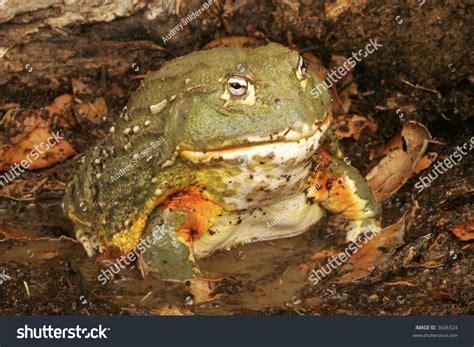 African Bullfrog Or Pixie Frog (pyxicephalus Adsperus