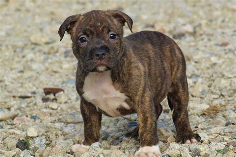 American Bully Puppies For Sale Dog Bazar - Litle Pups