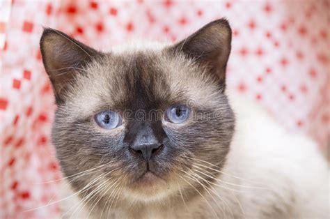 siamese nose herpes cat koude maschio freddo gatto mannelijke frio masculino gato kat met cold pretty young caucasian virus human