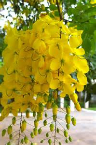 Tree with Hanging Yellow Flowers