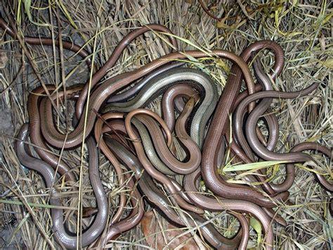 Slow-worm   KRAG