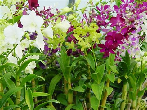 how to get an orchid plant to bloom again cultivation of dendrobium orchids home gardening ph