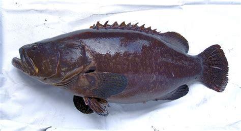 grouper fish giant fry supplier malaysia taiwan farming 21food