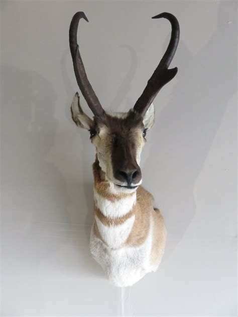 pronghorn antelope shoulder mount ap  mounts  sale