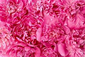 Peony flower heads - background Stock Photo Colourbox