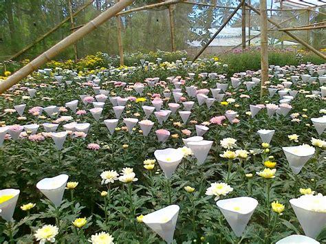 bunga krisan bunga seruni budidaya jual bunga