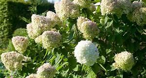 Hydrangea Paniculata Schneiden : praktischer schneideratgeber f r rispenhortensie ~ Lizthompson.info Haus und Dekorationen