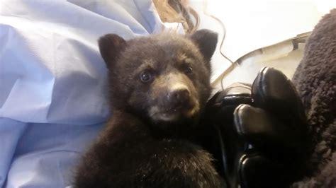 black bear    wildlife center  virginia