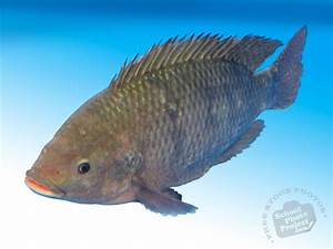 Tilapia, FREE Stock Photo, Image, Picture: Full-Grown ...