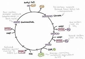 Krebs Cycle Diagrams
