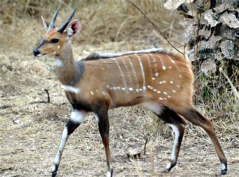 bushbuck facts  figures