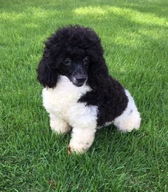 Murray Toy Miniaturedark Red Standard Poodlesred Toy Poodle Puppies For Sale Red Black