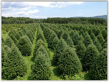 lehigh valley christmas tree farm hill farms wholesale and retail lehigh valley trees in pa