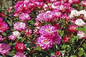 Rosen Schneiden Frühling : rosen schneiden wie sie am besten vorgehen gartenpflanzen garten ~ Watch28wear.com Haus und Dekorationen