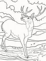 Deer Coloring Pages Ones Little Animals sketch template