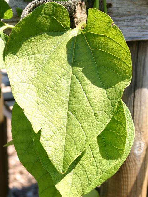 schnell wachsender baum mit breiter krone amerikanische pfeifenwinde pfeifenblume gespensterpflanze aristolochia macrophylla durior