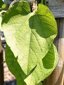Kleiner Baum Mit Breiter Krone : amerikanische pfeifenwinde pfeifenblume ~ Michelbontemps.com Haus und Dekorationen