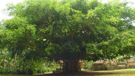 banyan tree wallpaper gallery