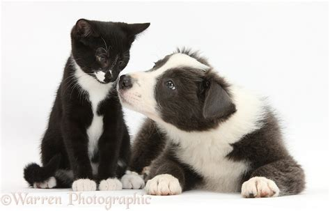 Pets Black And White Kitten And Border Collie Pup P O Wp