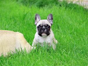 Download French Bulldog Puppy HD wallpaper for 1600 x 1200 ...