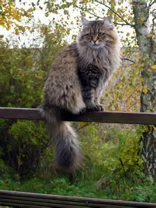 best cats for allergies best cat breeds for with cat allergies those cat