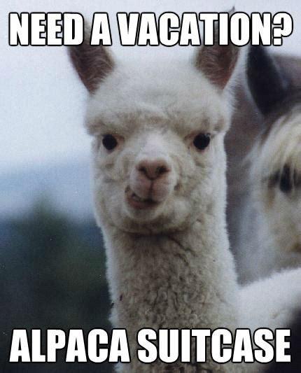Alpaca Sheep Meme - 17 best images about lamas vs alpacas on pinterest an adventure animal puns and a sheep