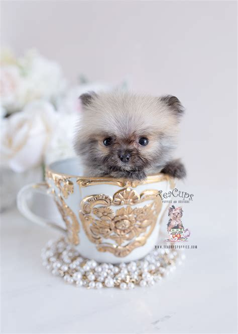 micro teacup pomeranian puppies teacups puppies boutique