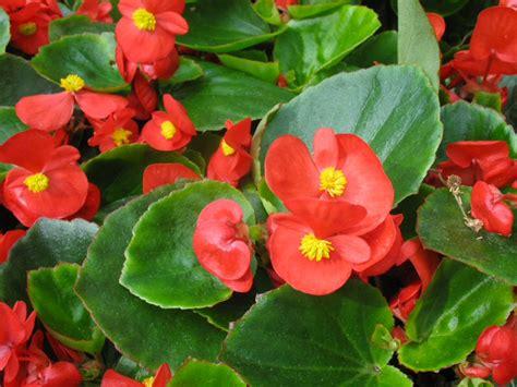 Common Name; Wax Begonia Scientific Name; Begonia X