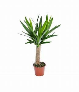 Yucca Palme Winterhart : yucca palme 39 maya tree 39 dehner ~ A.2002-acura-tl-radio.info Haus und Dekorationen