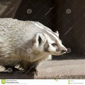 North American Badger stock image. Image of beast, white ...