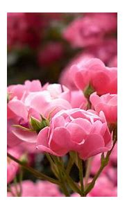 Pink Rose Buds Perfumed Flowers Plants From Garden Ultra ...