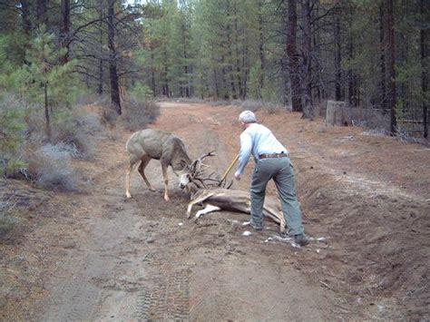 nice bucks locked antlers