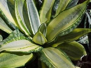 Sansevierias Of Hawaii